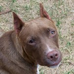 Carmello - Lab/Pit mix
