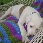 Dagwood - American Bulldog