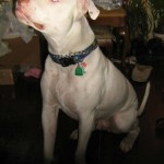 Jacks - American Bulldog/Pitbull