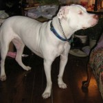 Jacks - American Bulldog/Pitbull