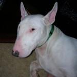 Jayla - Bull Terrier