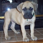 Mims - English Mastiff