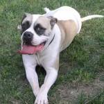 Miss Holliday - American Bulldog