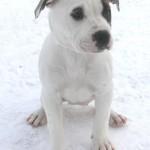 Narnia - American Bulldog