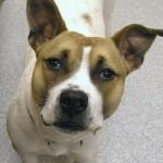 Pricilla - Basset American Bulldog