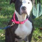 Ruby - American Bulldog