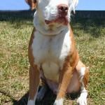 Solomon - American Bulldog