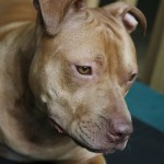 Gia - Pit Bull for Adoption