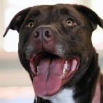 Kyree - Pit Bull / Mastiff Mix for Adoption