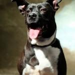 Mathilda - Pit Bull for Adoption