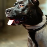 Mathilda - Pit Bull for Adoption