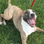 Pinata - Pitbull / Bull Terrier