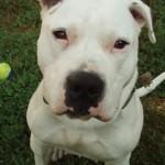 Baby Lee Cakes - American Bulldog/Pitbull