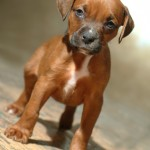 Bebe - Boxer/Mastiff/Pit