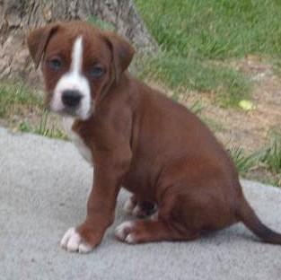 Boxermastiffpitbull Boomer Mid America Bully Breed Rescue