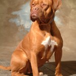Buella - Doge de Bordeaux