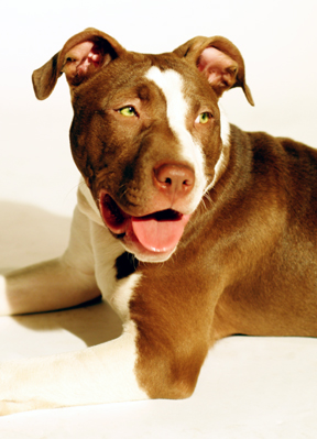 Buster - Pit Bull