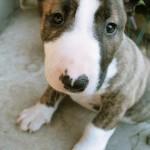 Chelsea - Bull Terrier