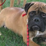 Clyde - Mastiff