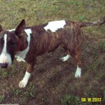 Daisy - Bull Terrier