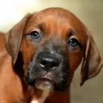 Dozer - Boxer/Mastiff/Pit