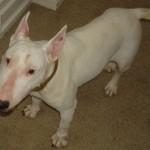 Emma - Bull Terrier