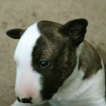 Fig Reed - Bull Terrier