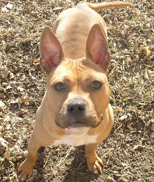 French Bulldog/Pit Bull - Frenchie | Mid-America Bully ...