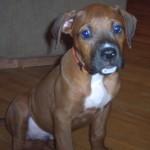 George - Boxer/Mastiff/Pitbull