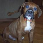 George - Boxer/Mastiff/Boxer