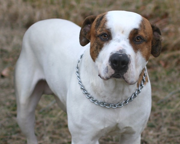 George - American Bulldog