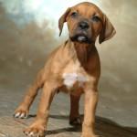 Maximus - Boxer/Mastiff/Pit