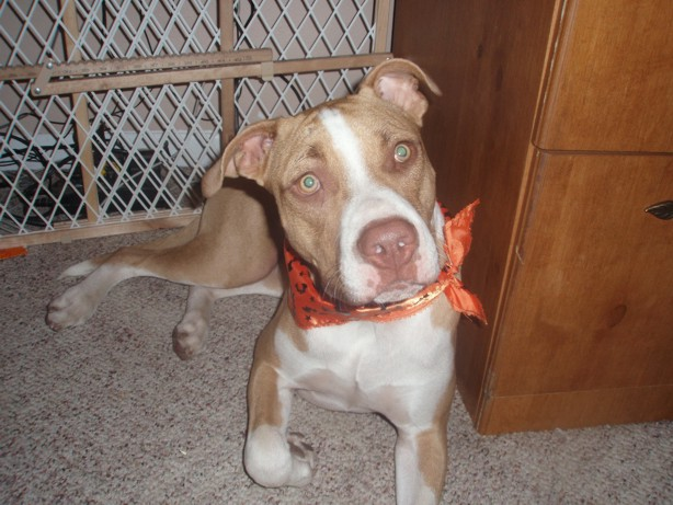 Pit Bull\/Boxer - Renzo | Mid-America Bully Breed Rescue