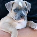 Roxie - American Bulldog