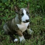Snidley - Bull Terrier