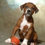 Socks - Boxer/Mastiff/Pitbull