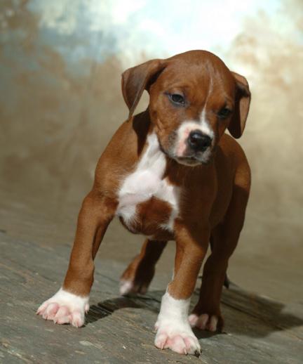 Boxer Mastiff Pit Bull Socks Mid America Bully Breed