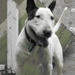 Suggsy - Bull Terrier