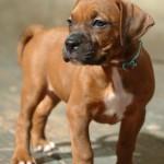 Tawny - Boxer/Mastiff/Pitbull