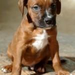 Tres - Boxer/Mastiff/Pit