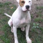 Twiggy - American Bulldog/Pit Bull
