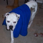 Victor - American Bulldog
