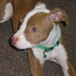 Willow - Pitbull