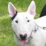 Xander - Bull Terrier