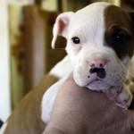 Dasher - American Bulldog