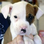 Dasher - American Bulldog