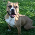 Twinkie - Pit bull / English Bulldog Mix