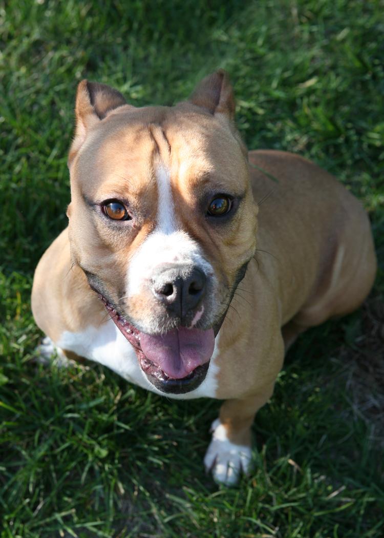 Pit Bull English Bulldog Mix Twinkie Mid America