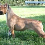 Twinkie - Pit bull / English Bulldog Mix