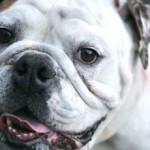 Henry- English Bulldog